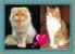 Персидские и Экзотические кошки