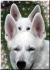 Белая Швейцарская/Немецкая Овчарка (Американо-Канадская Белая Овчарка)