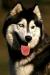Сибирский хаски, спорт, щенки