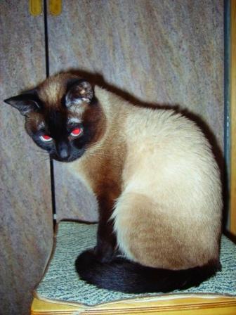 Тайская кошка тайские и сиамские