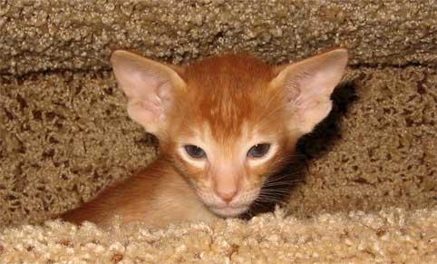 Котята кошки питомники продажа котят