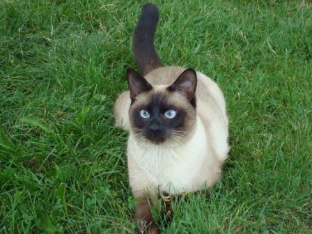 Шерсть сиамских кошек короткая, блестящая, плотно прилегающая.