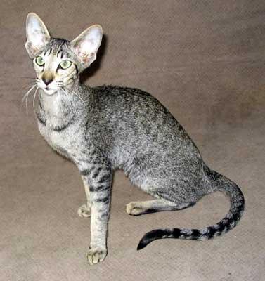 Ориентальная кошка: О ПОРОДЕ.  Ориенталы (англ. oriental - восточный) по...