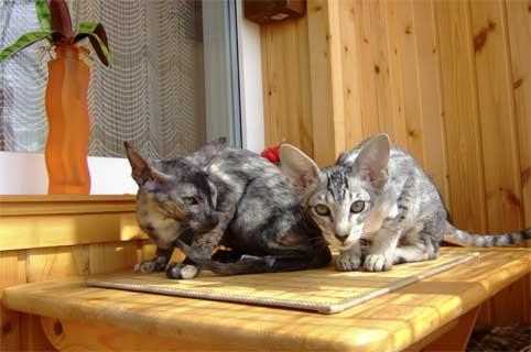 Кошки питомники продажа котят