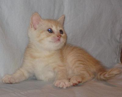 британские плюшевые котята. фото
