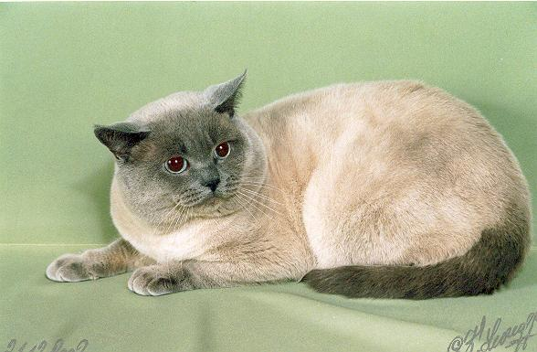 Британские кошки питомник