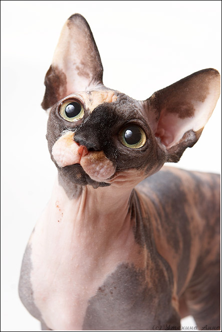 Питомник котов сфинксов