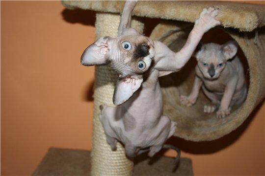 Животные. продам котят канадского сфинкса,без документов,малыши-голыши...