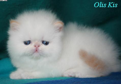 картинки персидских котят
