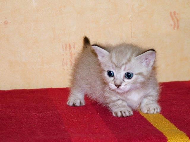 Кошка – кенгуру продажа котят фото