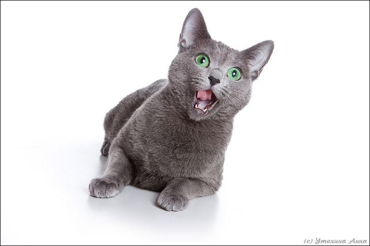 Русская голубая (порода кошек) .  Обои, постеры, большие фото.