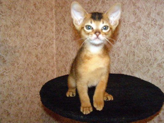 Кот абиссинская кошка елена