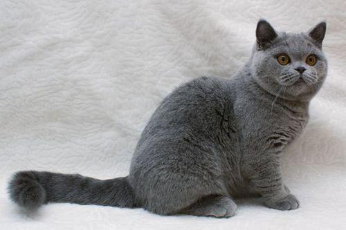 Фото коты британская короткошерстная