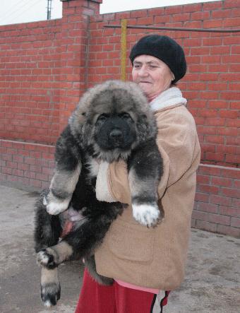 форум о породе кавказская овчарка.  НЕТ антисобачьему законопроекту .