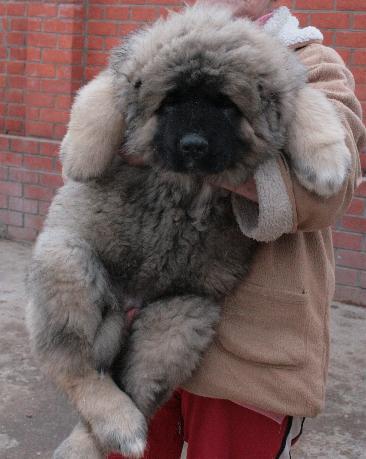 Щенок кавказской овчарки - мальчик 2,5.