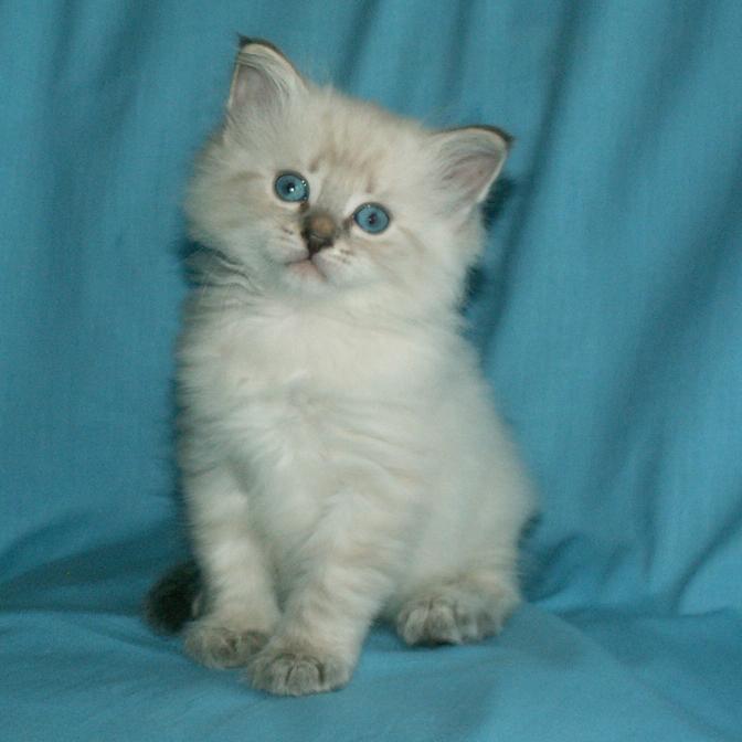 Еще по теме красивые котята невские