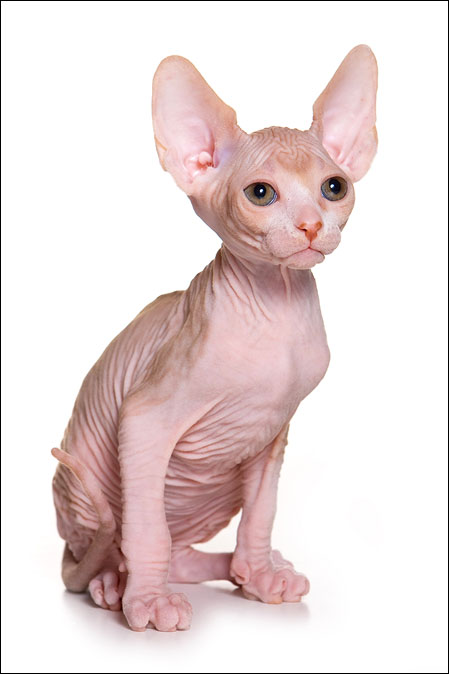 канадский сфинкс. котята фото