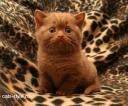 Британские котята окрас циннамон