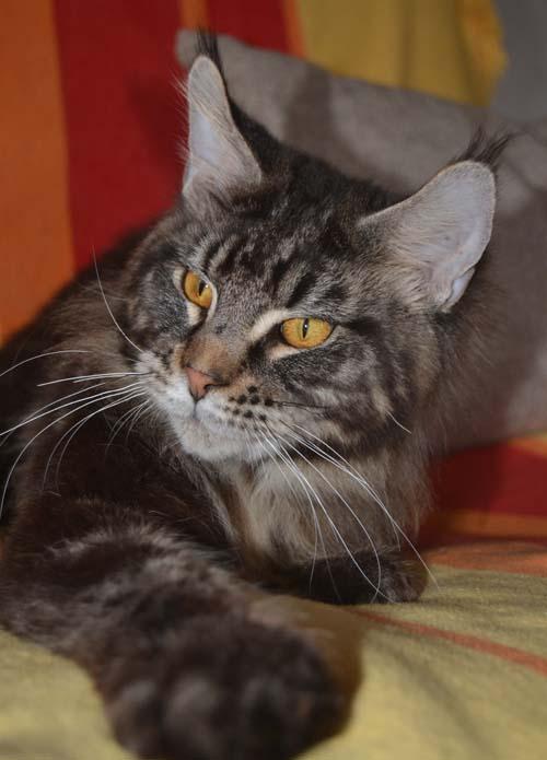 Котята мейн куна новосибирск