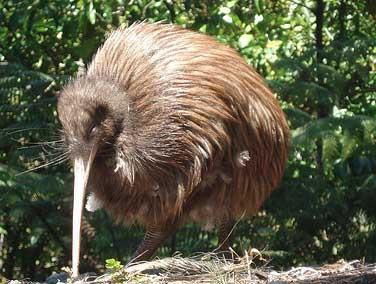 ...попугай, веерохвостый голубь и новозеландский сокол, птица туи.