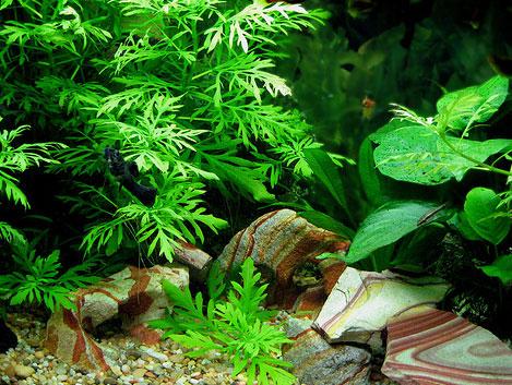Аквариумные растения превращают
